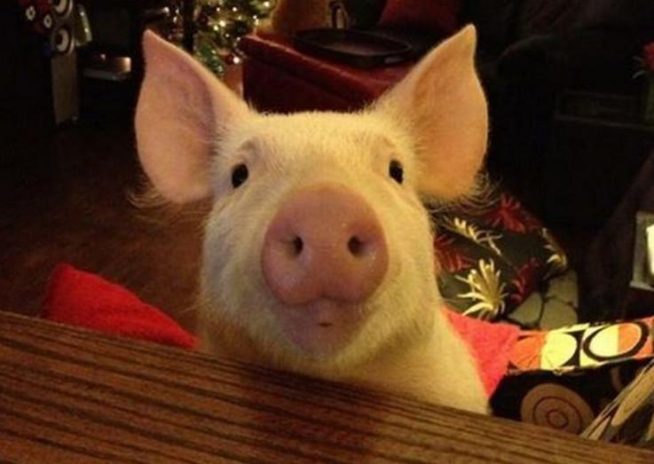 幽默口才训练案例分析:每头猪100法郎!